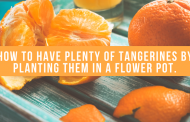 How To Have Plenty Of Tangerines By Planting Them In A Flower Pot