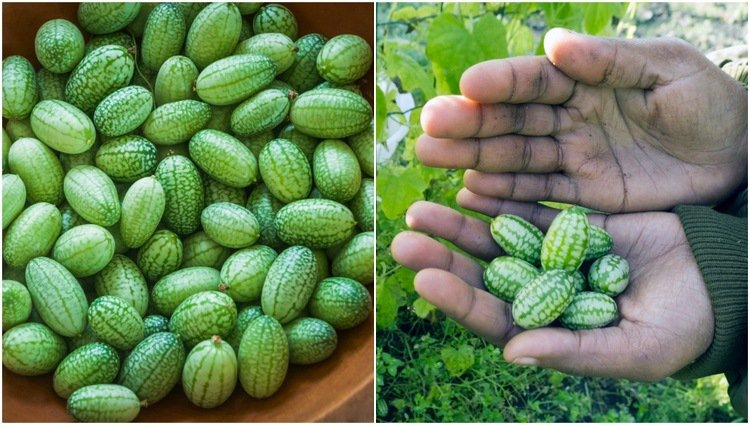 How To Grow Cucamelons The Tastiest Fruit You Will Grow All Year