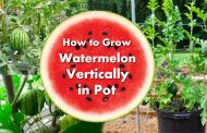 How to Grow Watermelon in Pot Vertically
