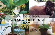 How To Grow Banana Tree In A Pot