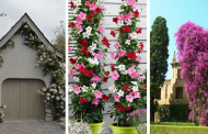 20 Amazing Climbing Trees TO Give A Wonderful Look To Your Garden