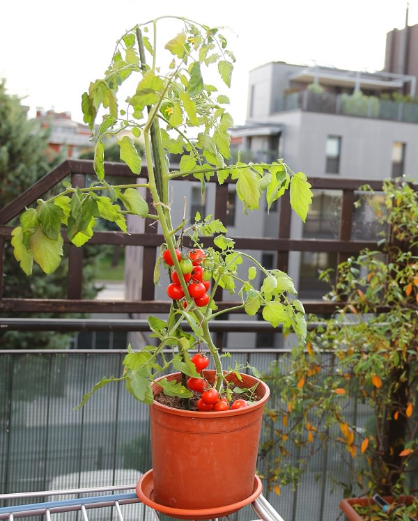 Location tip for growing tomato in a container