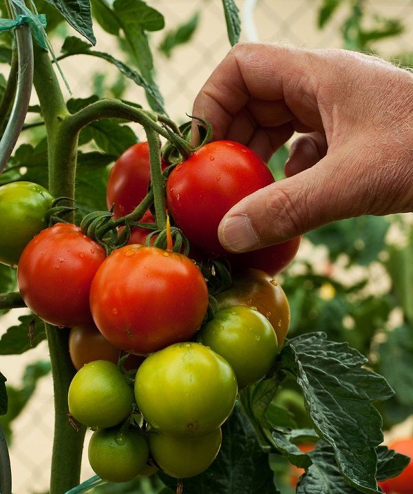 Harvesting tips for growing tomato in containers