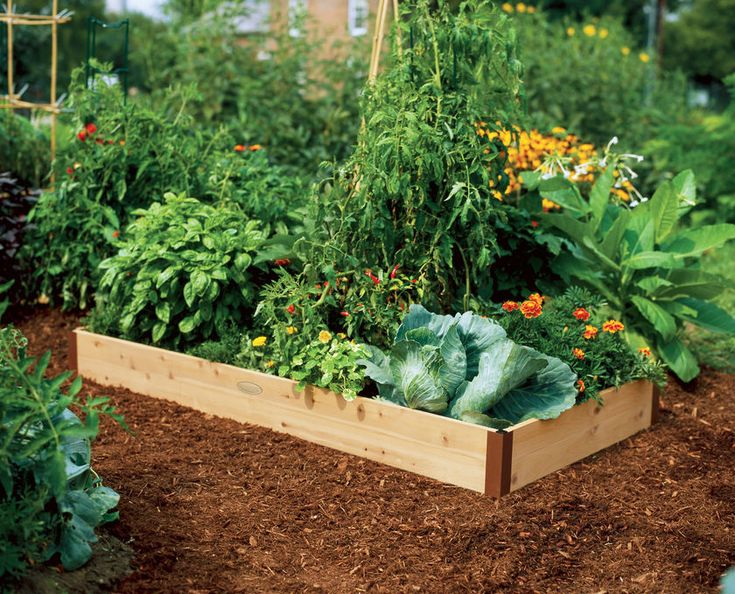 tomato in raised bed