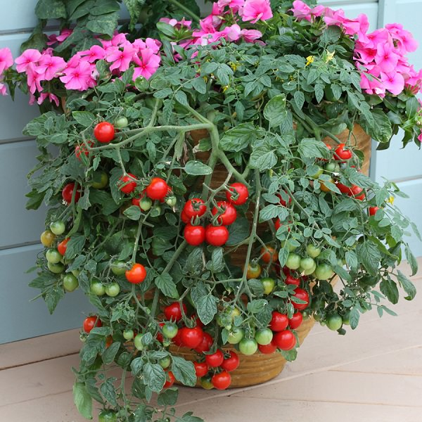 Best varieties tips for growing tomato in containers