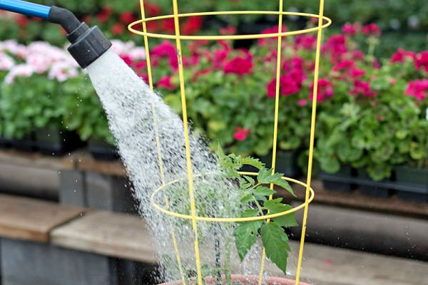 Watering tomato in containers properly
