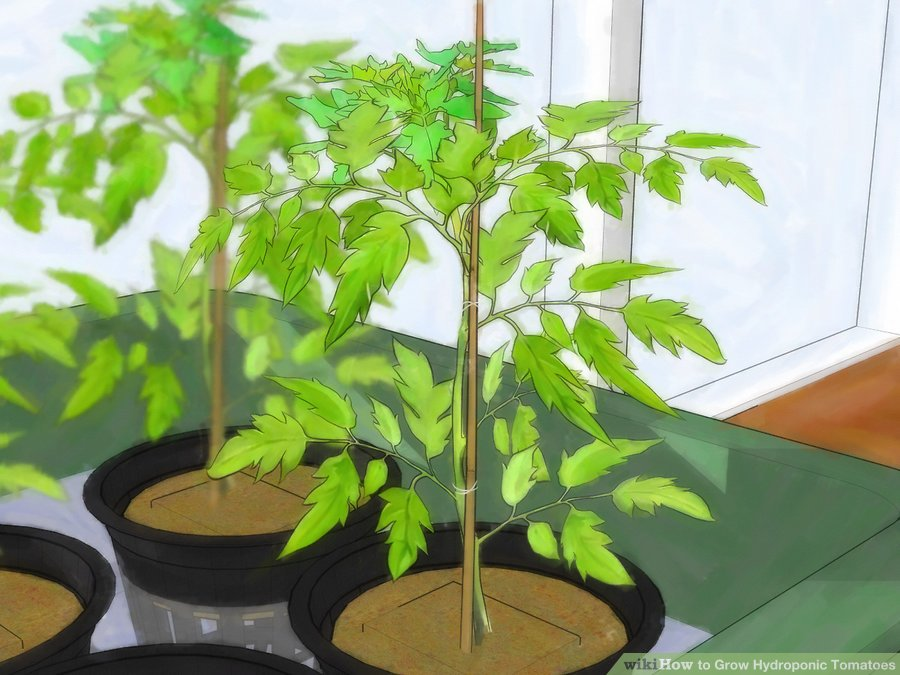 supporting hydroponic tomatoes