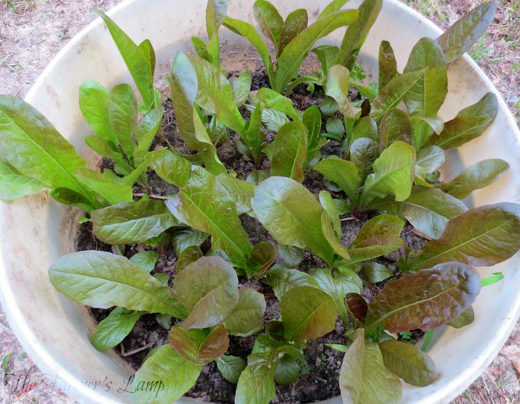 Growing-Lettuce-in-Containers-