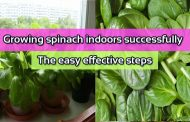 Growing spinach indoors successfully: The easy effective steps
