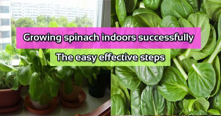 Growing spinach indoors