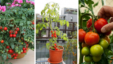tips for growing tomato in container