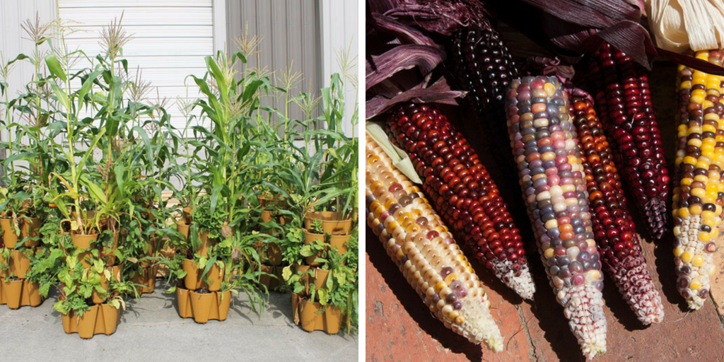 growing corn in containers