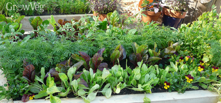 LEAFY GREENS in raised beds