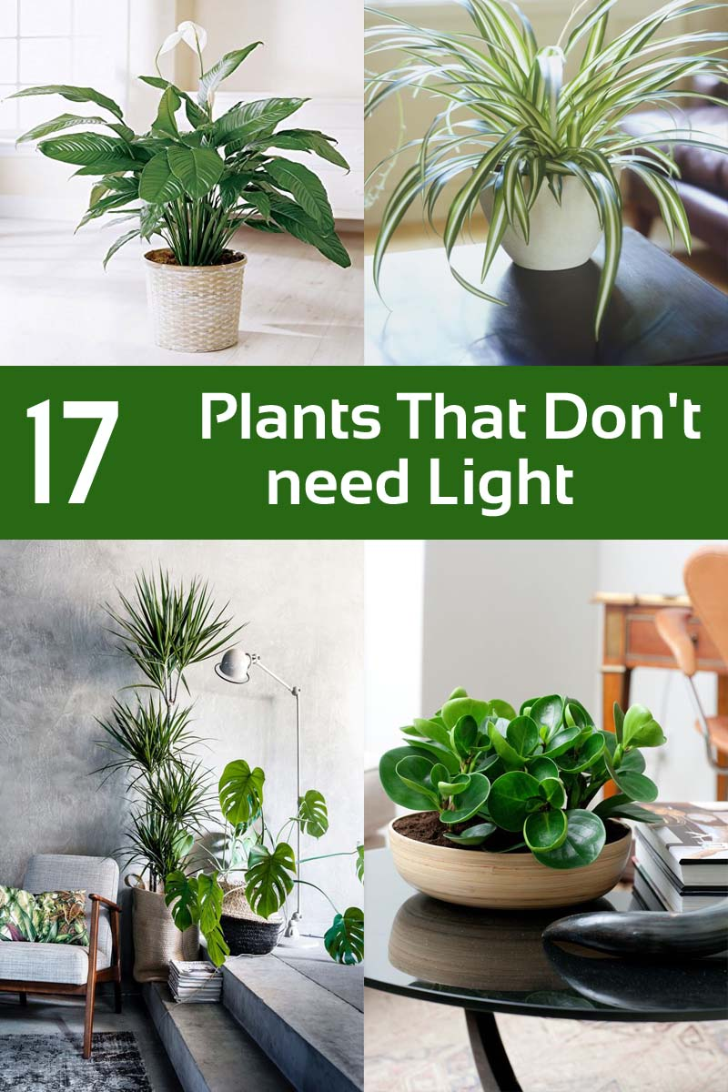 Plants That Don't Need Light