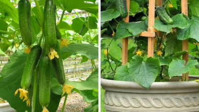 Growing Cucumbers Vertically: The best DIY guide for vertical gardening