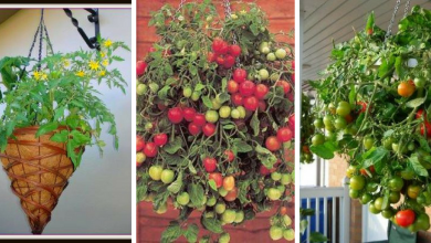 How to Grow Tomatoes in a Hanging Basket: The best vertical gardening