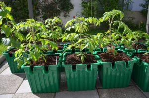 The Oasesbox tomato self-watering planter
