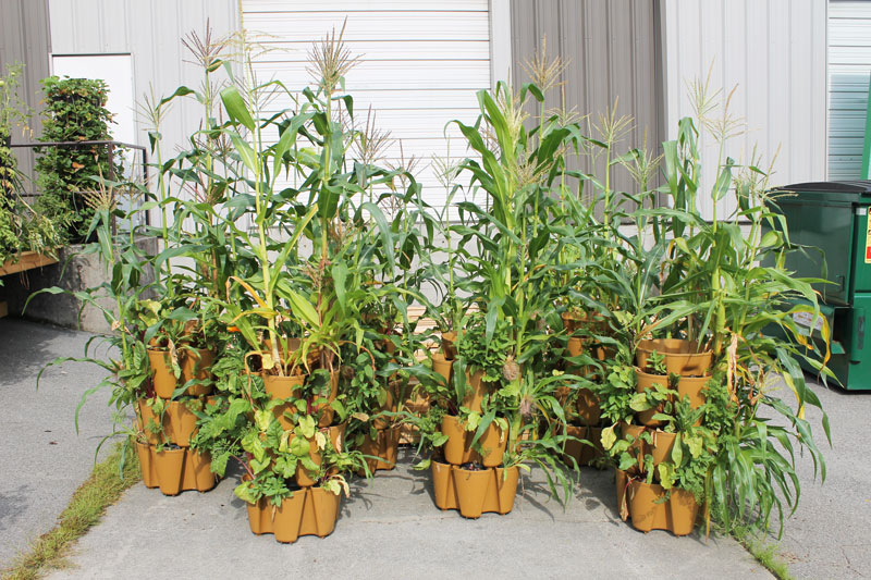grown corn in containers