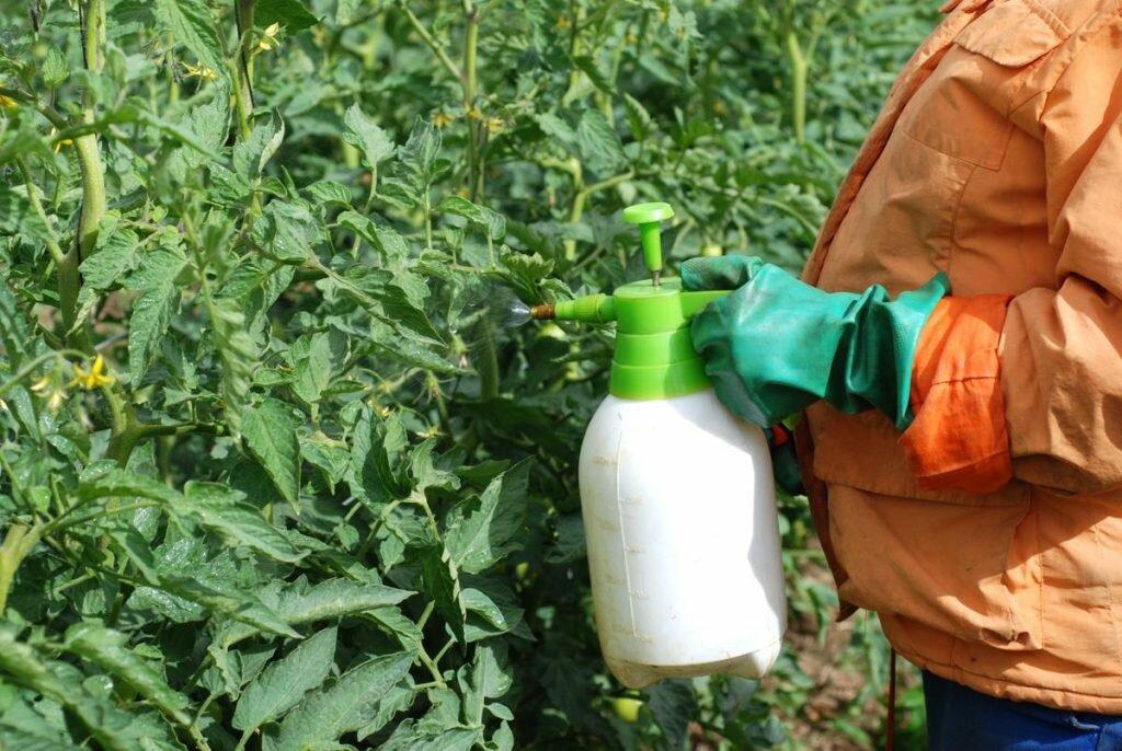 fertilizing brandwine tomatoes