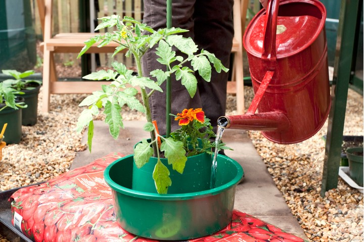 fifth step for growing tomatoes in grow bags