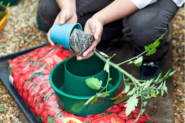 fourth step for growing tomatoes in grow bags