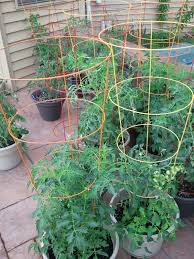 tomato cage for growing tomato in self-watering buckets