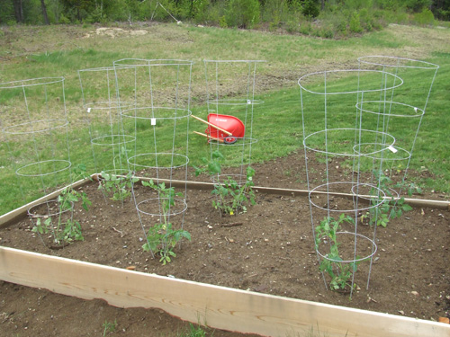 a good position for grpwing tomato in raised beds