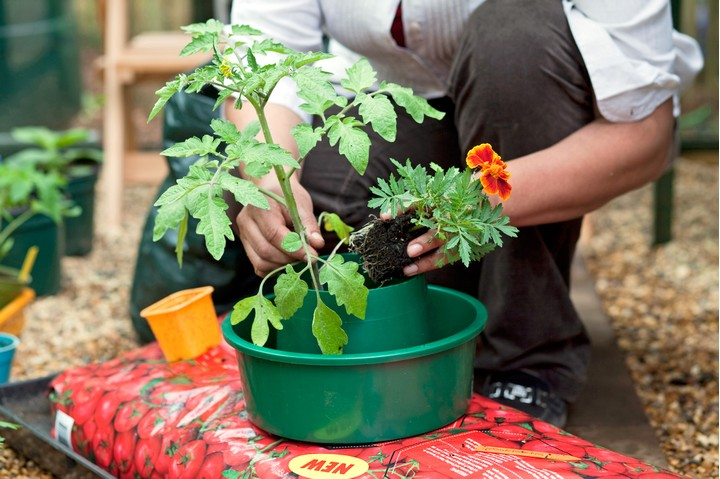 sixth step for growing tomatoes in growing bags