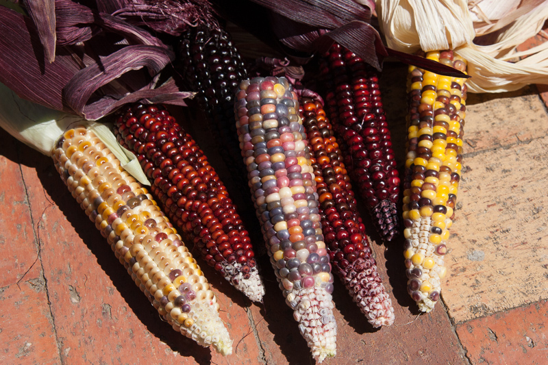 Best corn variety to grow in a container