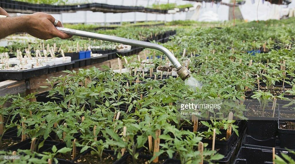 watering brandywine tomatoes