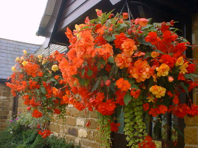 Begonia-in-hanging-basket
