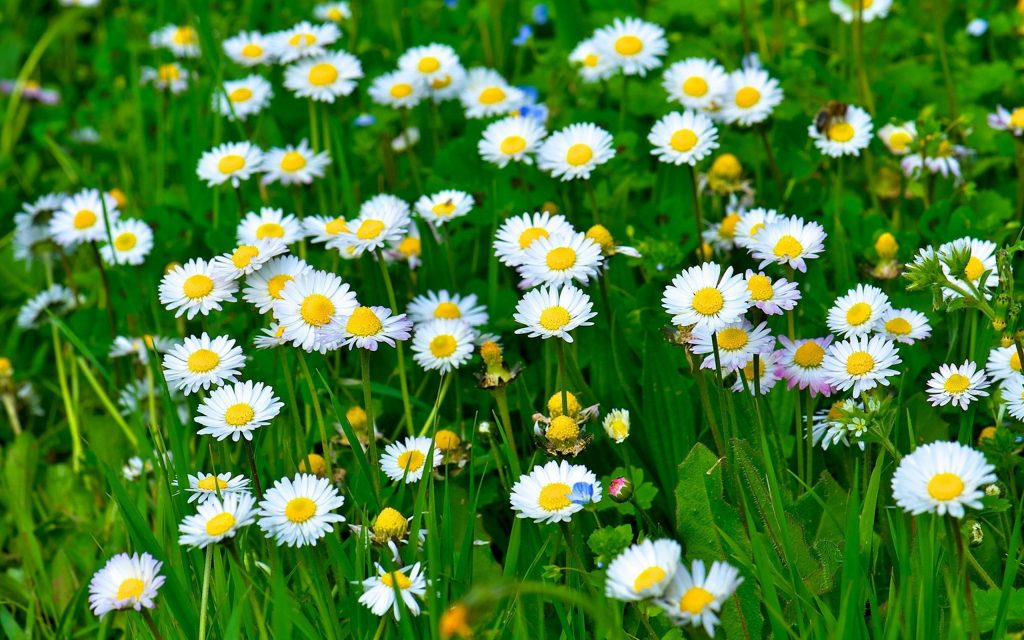 Bellis perennis birds