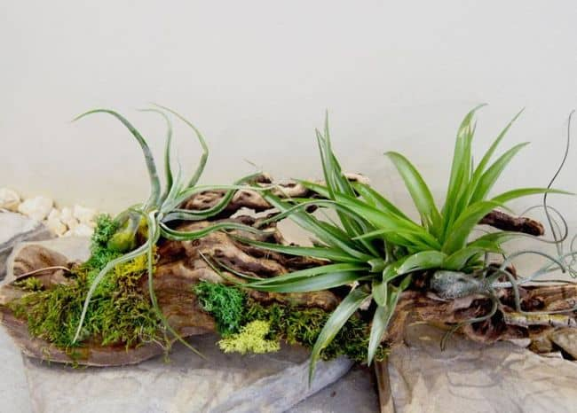 Driftwood air plant display