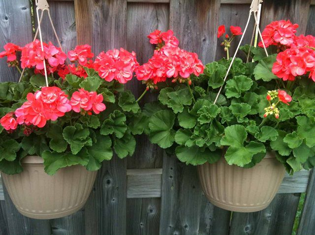 Geranium-in-hanging-basket