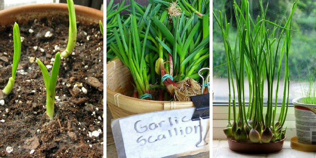How to Grow Garlic Indoors