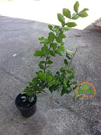 How to Grow the barbados cherry tree from seedlings