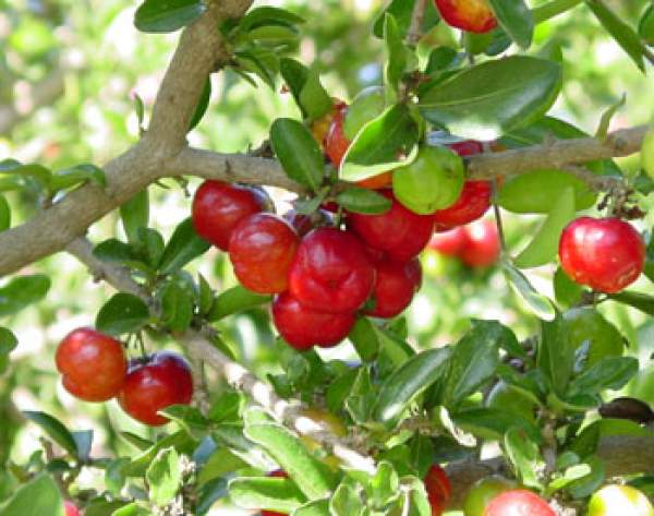 How to Grow the barbados cherry tree