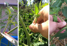 How to prune tomatoes: A simple healthy method to improve production