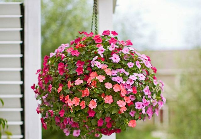 Impatiens-in-hanging-basket