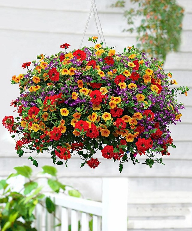 Million-Bells-in-hanging-basket