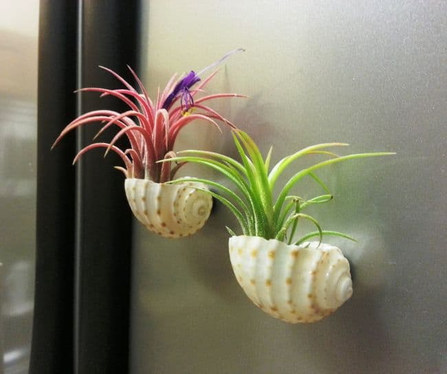 Mounted Sea Shells air plants display
