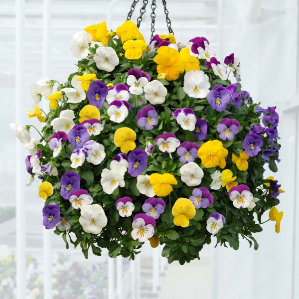 Pansy-in-hanging-basket