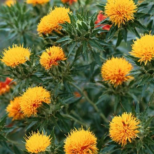 Safflower_Orange
