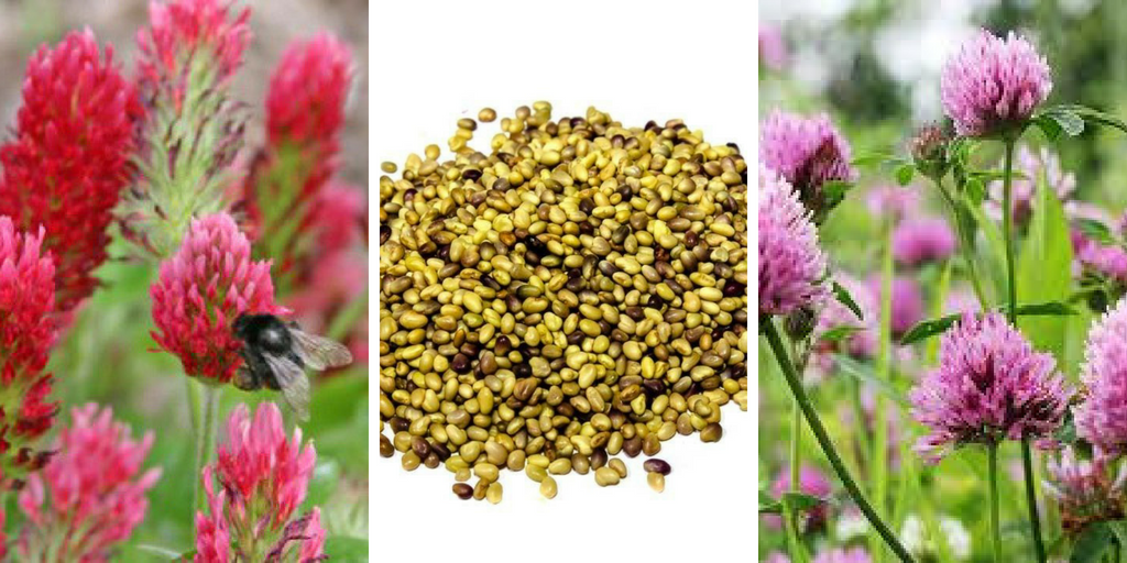 how to grow red clover