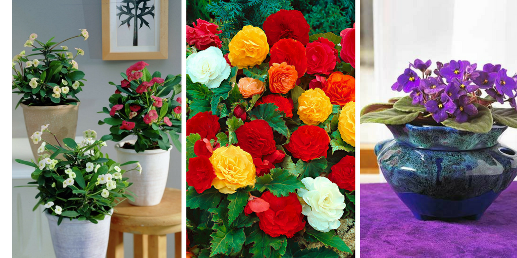 best flowering houseplants