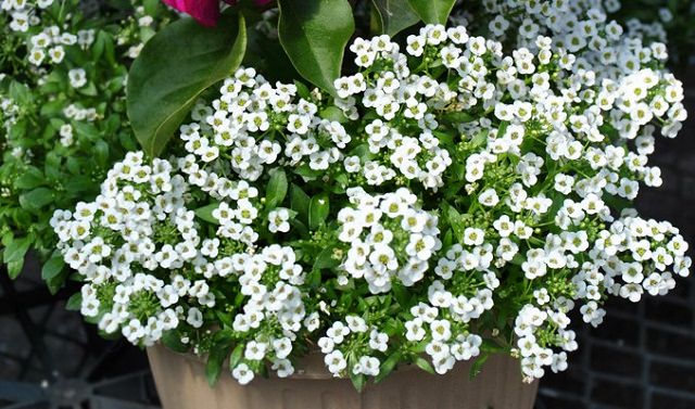 Sweet-Alyssum-in-hanging-basket