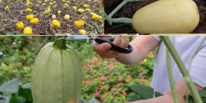 When to pick spaghetti squash