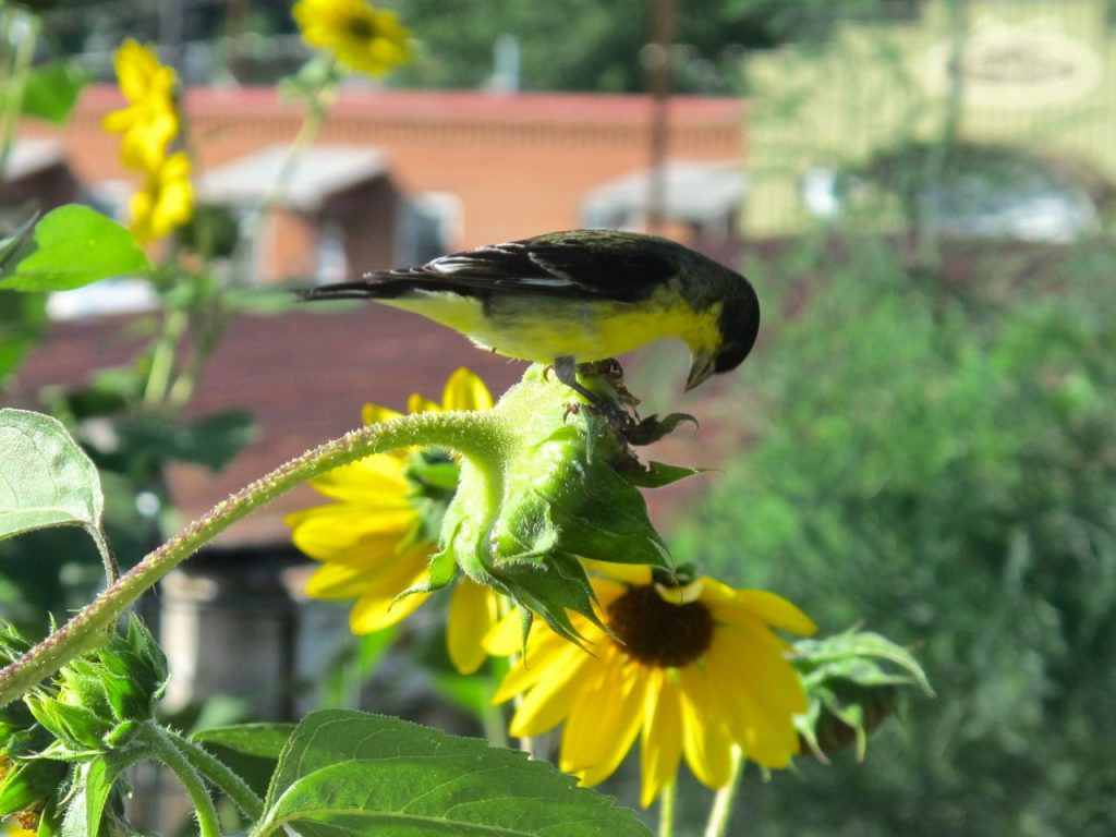 best plants to attract wild birds-sunflower