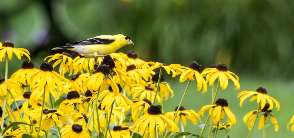 black eyed susans and birds