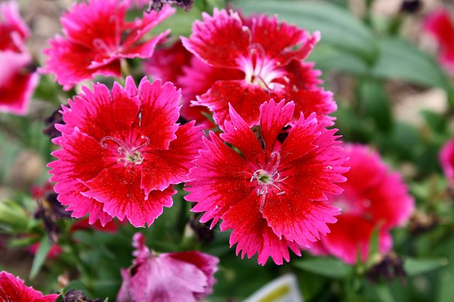 dianthus-in-hanging-basket